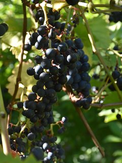 enjoy the grapes growing by the well!