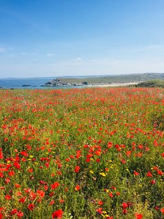 The beautiful poppies at west pentire