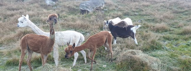 The Alpacas with our goats Kate & Dan. All friendly so our guests can meet them