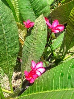 La jolie fleur du frangipane juste devant votre terrasse.