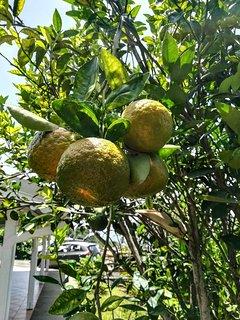 Les énormes mandarines du jardin sont à portée de main pour se presser un succulent jus frais