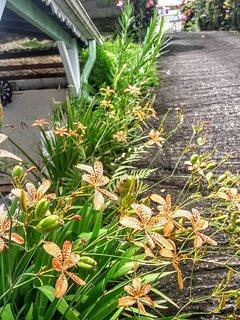 Plusieurs sortes d'orchidées ornent les allées du jardin.