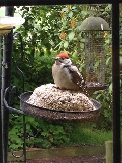 Baby woodpecker come to visit