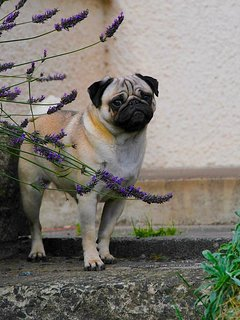Pugs in the lavender in garden