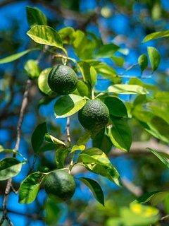 Fresh citrus at Nianna Eden