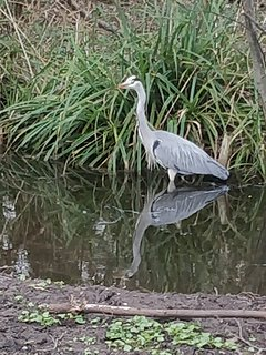 A heron hunting in the nearby lake