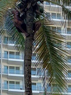 Man getting coconuts acroos from Stella Maris Condominium