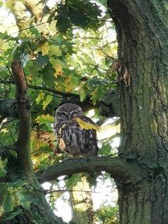 Our resident Little Owl in the oak trees beside the studio