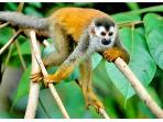 Endangered red-backed squirrel monkeys often nest in the rooster palm over the hot tub,
