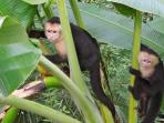 The Discovery Beach House property is on the natural foraging route of these capuchin monkeys.