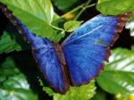 Blue Morpho Butterflies are indigenous to Manuel Antonio.