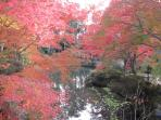 Japanese maples on fire near Manshuin temple - this area is incredible at the end of November