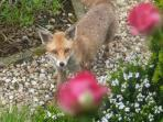 Mr Foxy takes a morning stroll in the garden