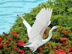 Egret flying over the pool