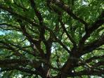 The great oak tree canopy