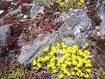 Sedums in bloom in the rockeries of Moon Dance.