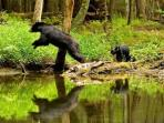 Smoky Mountain Tn Home Of The Black Bears