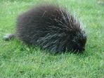 Yes, we watch porcupines, at Frazer Point. 2 miles from house.