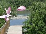 Yes, you are seeing pink birds, Roseatte Spoonbills, better picture on my actual webpage!