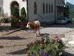 Cow wandering through the streets of Faistenau