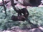 Bear cubs playing at Bearizona only a few minutes away