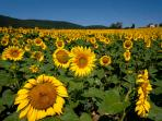 Sunflowers in Spello Countryside (photo copyright Geoff Beatty)