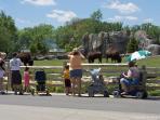 Brookfield Zoo Bisons