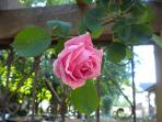 Rose in Front Yard