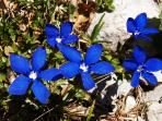 This area is famous for its wild flowers: Alpine Gentians