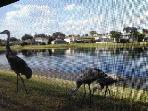 OCT - Mama & 2 baby cranes visiting me 1/2 hr poolside - taken from camera phone thru screening ;-)