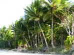 Coconut Palms, Four Mile Beach