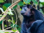 Local wildlife (Howler monkey)