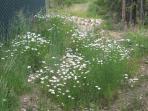 Wild Flowers along the Frazer River Trail