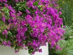This cluster of bouganvilla hangs down by the pool, and hummingbirds build nests in the branches.