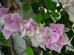 Bouganvilla comes in more than ten varities, and we keep expanding our garden.