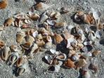 Winter shells (Colors, types, quantities change with seasons & storms)