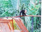 Capuchin monkey on the railing of Villa Perezoso pool deck