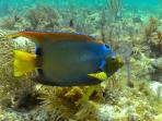 The Patch Reefs are abundant with beautiful & colourful species including this Queen Angelfish