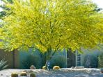 Springtime in the front yard with stunning paloverde trees.!