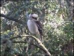Kookaburra at Bungunyah