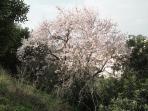 Almond in Casa Limao garden