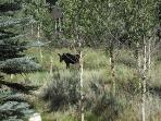 Baby Moose from back deck!