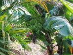Bananas on the banana tree.