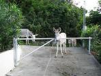 The island donkey's waiting for someone to leave the gate open.