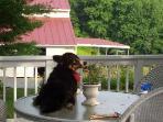 Corgie Bella caught sprawled on table