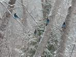 The Steller's jays stand out against a snowy background