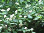 Wild Hydrangea by Sunroom Deck