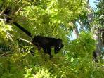 Howler monkeys outside in the front of villa
