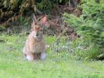 The varying hares are regular visitors around the cottage.