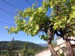 Vine over the terrace